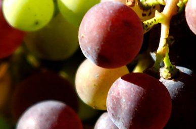 chateau-de-pressac-cepages-saint-emilion--france-wine-vin-tourisme-winetourbooking-oenotourisme-bordeaux