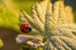 coccinelle-vin-vignoble-environnement-bio-biodynamie