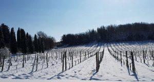Vignes enneigées et gel attention aux dégâts sur les vignes