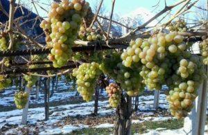 Vignes gelées, quels remèdes pour soigner les dégâts ?
