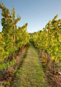 alsace-vines-wines-vineyard