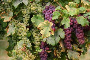 Grappes du cépage Pinot Noir