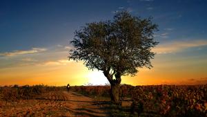 Coucher de soleil dans les vignobles