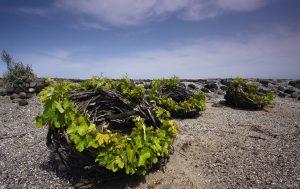 Les vignes de Santorin enroulées en forme de cocons