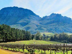 Les vignes de Stellenbosch
