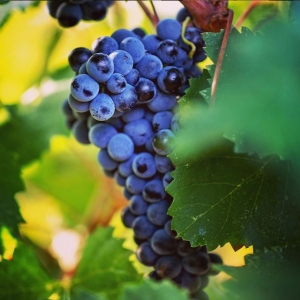 Château Romanin grape variety global warming wine tour booking