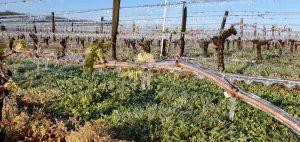Vignobles des Verdots gel printemps