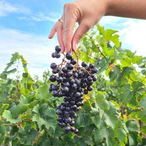 grappe-raisin-domaine-viticole-oenotourisme-wine-tour-booking-foire-vins-dégustation