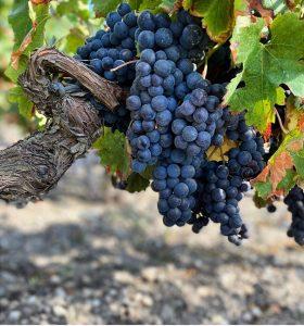 cabernet-sauvignon-malartic-lagravière-visite-chateau-winetourbooking-oenotourisme